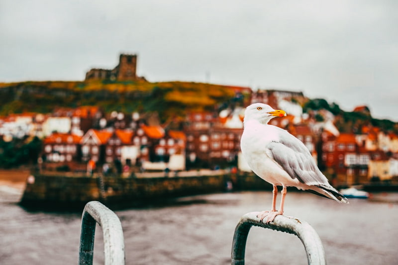 Whitby seagul